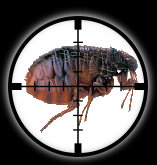 Targetted Pest Control - Flea Extermination in Stoke on Trent