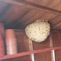 Hornet Nest in a Garden Shed