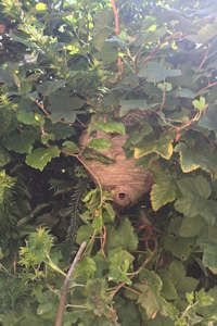 Wasp nest removal from a bush